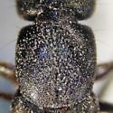 Black Rove Beetle - Tasgius winkleri