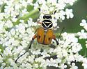Beautiful Beetle - Trigonopeltastes delta