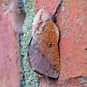 Sphingicampa bicolor