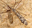 subgenus Pterelachisus? - male