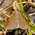 Hodges#8385 - Renia fraternalis - female