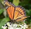 Viceroy Butterfly? - Limenitis archippus