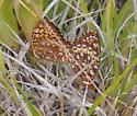 Speyeria aphrodite - male - female