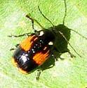 Casebearer leaf beetle - Bassareus mammifer