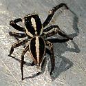 Jumping spider on wall - Leptofreya ambigua