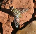 syrphid fly ?