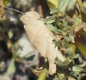 unknown grasshopper - Conozoa