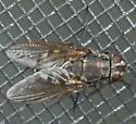 Fly - Pollenia