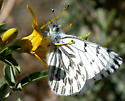Spring White - Pontia sisymbrii