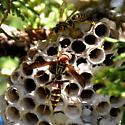 Paper wasp - Polistes exclamans - male - female