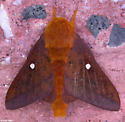 Orange-tipped oakworm moth - Anisota senatoria - male