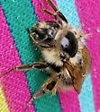 Bee resting on a pillow - Bombus mixtus