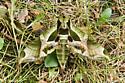 Pandorus Sphinx Moth - Eumorpha pandorus