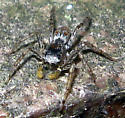 Jumping Spider - Maevia inclemens - male