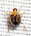 Small beetle - Peltodytes