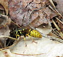 Wasp? Bee? Mimic? - Vespula flavopilosa - female