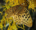 unknown E Oregon fritillary - Speyeria