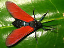 spotted oleander caterpillar moth - Empyreuma pugione