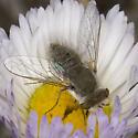 Bee Fly - Pantarbes
