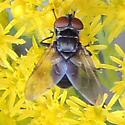 Unidentified fly - Phasia - female