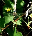 Big Dragonfly Black and yellow horizontal stripes  blue eyes - Cordulegaster dorsalis