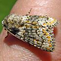 Moth - Hecatera dysodea