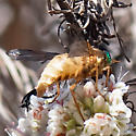 Tabanid - individual #2 - Pegasomyia