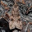 Moth ID - Nomophila nearctica