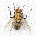 Gold Tachinid Fly - Chrysoexorista ochracea - male