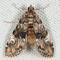 Synclita obliteralis - Elophila obliteralis