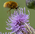 Possible Bee Fly - Bombylius comanche