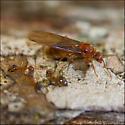 Prenolepis imparis, Winter Ant queen on Chinquapin trunk - Prenolepis imparis - female