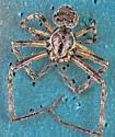 Anyphaenidae ?  - Larinioides sclopetarius