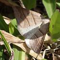 Petrophora subaequaria ? - Petrophora subaequaria