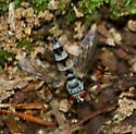 Distinctive Fly - Zelia - male