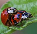 Mating Ladybugs - Harmonia axyridis - male - female