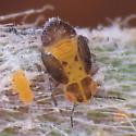 Melaleuca Psyllid - Boreioglycaspis melaleucae