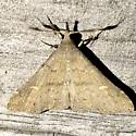 Renia adspergillus - male