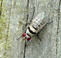 Diptera help... - Anthomyia illocata - female