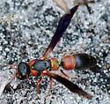 Need help with wasp id.   - Parancistrocerus histrio