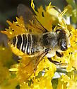 Western Leafcuter - Megachile perihirta