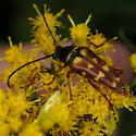 Longhorn Flower Beetle - Typocerus velutinus - female