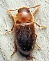 Tiny beetle - Typhaea stercorea