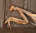 European Mantid - Mantis religiosa - female