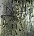 ? Fishing Spider, Picuaridae - Dolomedes tenebrosus