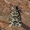 Eudonia leucophthalma