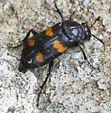 Black Bug with orange markings and orange-tipped antennae - Nicrophorus orbicollis