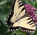 another swallowtail - Papilio glaucus