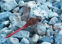 Another unknown dragonfly. - Sympetrum costiferum