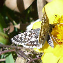 Checkered Skipper - White or Common? - Pyrgus